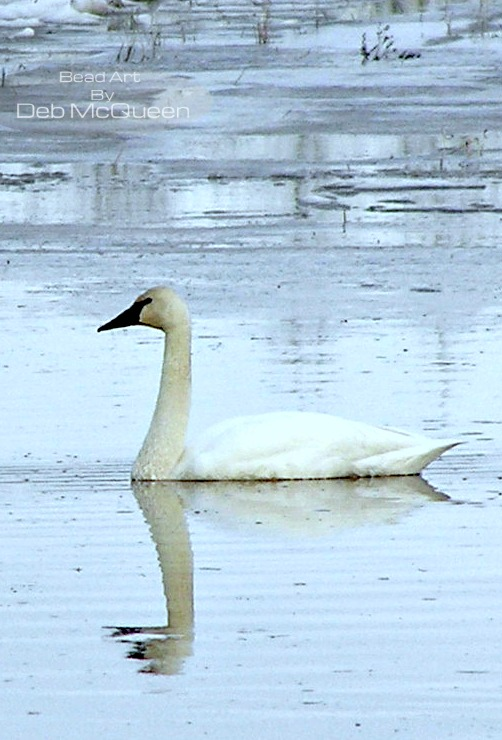 Trumpeter Swans at Creamer's Field