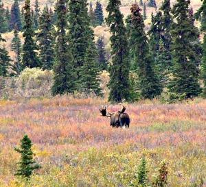 Bull Moose, e was camera shy