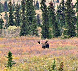 Bull Moose, e was camera shy